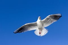 White Black Bird Flying Stock Photography