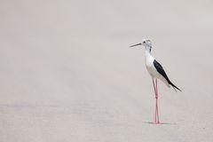 White and Black Bird Standing on Asphalt Flooring Stock Photography
