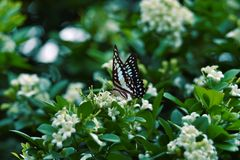 White black blue butterflies perch on white flowers and fresh green leave. S in the morning royalty free stock photography