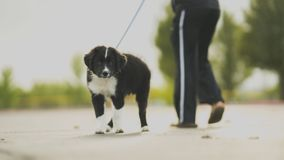 White and Black Border Collie Puppy Walk Beside Person in Track Pants Stock Photo