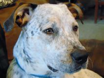 White black and brown blue heeler mixed breed dog stock images