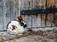 White Black and Brown Rabbit Near Brown Wooden Fence Stock Photography