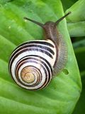 White Black and Brown Snail on Green Leaf Stock Image