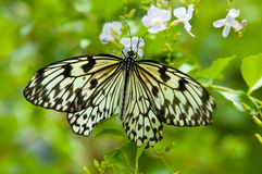 White and black butterfly Stock Image