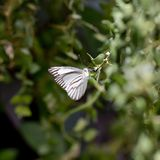 White and black butterfly Royalty Free Stock Photo