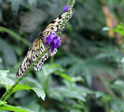 White and Black Butterfly Feeding on a Purple Flower Stock Images