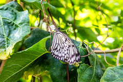 White and Black Butterfly on Green Leaves Royalty Free Stock Photo