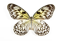 White and black butterfly Idea leucanoe isolated. On white background stock images