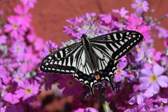 White and Black Butterfly on Pink White and Yellow Flowers Stock Images