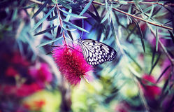 White and Black Butterfly on Red Flower Royalty Free Stock Photography