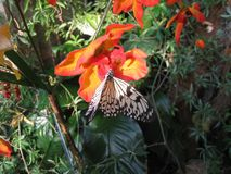 A white and black butterfly on a red and orange flower. A wonderful and big butterfly is drawing nectar from a colorful red and orange flower royalty free stock image