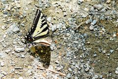 White and black butterfly. Sitting on the ground with rocks royalty free stock photography
