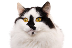 White and black cat Royalty Free Stock Photos