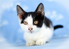 White and Black Cat Adoption Photo. Tuxedo kitten cat Animal Shelter Adoption Portrait Pet Photography royalty free stock photos