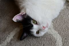 White and black cat on the carpet Royalty Free Stock Photography