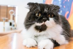 White and black cat looking at you. Cat sleeps squat on table Royalty Free Stock Image