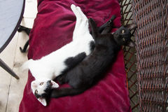 White and black cat lying on red fabric Royalty Free Stock Images