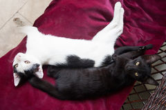 White and black cat lying on red fabric Royalty Free Stock Photo