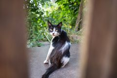 A white and black cat photographed through a wooden fence. Royalty Free Stock Image