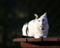 White And Black Cat On Pub Table Stock Photography