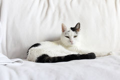 White and Black Cat Relaxing Royalty Free Stock Image