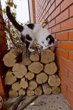 White black cat sharpening its claws on logs Royalty Free Stock Photo