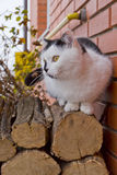 White black cat sitting on logs Stock Image