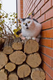 White black cat sitting on logs Royalty Free Stock Photography