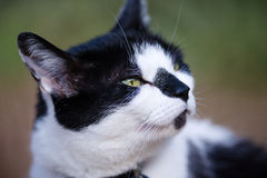 White And Black Cat Sniffing Air Royalty Free Stock Photography