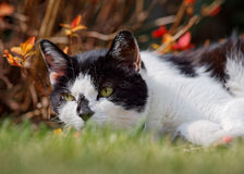 White And Black Cat In Spring Garden. A dainty white and black cat with piercing green eyes lies in the spring grass with attractive red foliage behind her royalty free stock photography