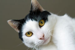 White-black cat with yellow eyes Royalty Free Stock Image