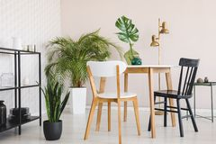 White and black chair at wooden table in dining room interior with plants and gold lamp. Real photo stock photography