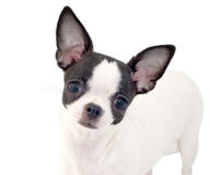 white with black chihuahua puppy portrait isolate Royalty Free Stock Image