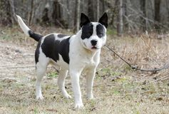 White and black chunky Bulldog Dog on leash, Georgia. Fat not neutered male white bulldog dog with black eye patches. On leash outside. Happy bull terrier with royalty free stock photo