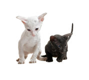 White and black cornish rex kittens Stock Photos