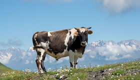 White and black cow on alpine meadow Stock Photography