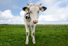White and Black Cow during Daytime Stock Photo