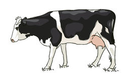 The white and black cow is grazed Royalty Free Stock Photo