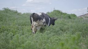The white and black cow walking on the field in the high green grass. Agriculture industry, farming and animal husbandry. The white and black cow walking on the stock footage