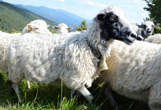 White-black cute sheep with bell on necks against the backdrop o Royalty Free Stock Image