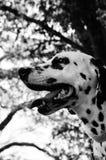 White and Black Dalmation stock photos