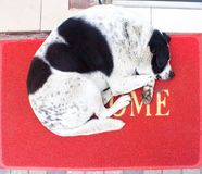 White and black dog with heart on the back sleeping on red carpet with word wellcome stock images