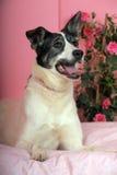 White with black dog lying Royalty Free Stock Images