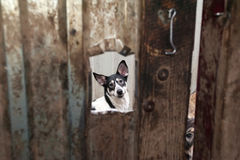 White and black dog peeking through window in gate Stock Photos