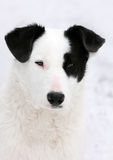 White and black dog portrait Royalty Free Stock Photos