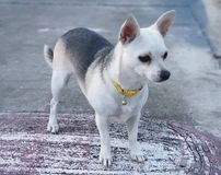 The small dog. This is a white and black dog. Small dog on the road stock images
