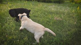 White and black dogs dressed in collars are playing on a green blooming lawn in sunset in summer