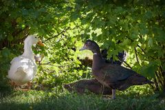 White and black duck in the light background. White and black duck in the background of green leaves in the light Stock Image
