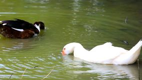 White and black ducks in pond washes, spread their. Wings stock footage