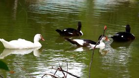White and black ducks swimming in pond. Video stock video footage